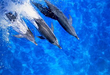 Spotted Dolphins jumping