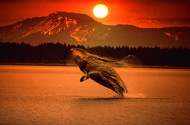 Humpback Whale jumping out of sea