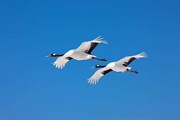 Japanese Cranes, Akan, Hokkaido, Japan