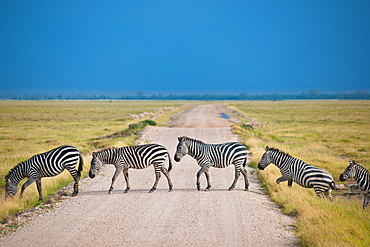 Zebra crossing road at Amboseli National Park, Kenya