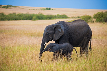 Elephants at Amboseli National Park, Kenya