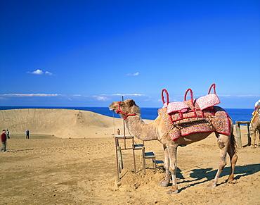 Camel, Tottori Prefecture