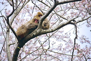 Japanese monkeys