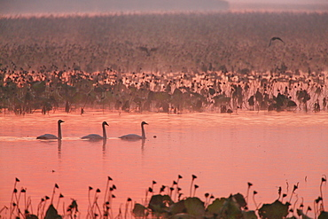 Swans, Japan