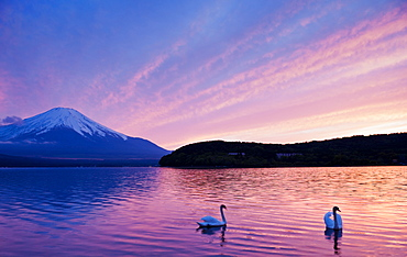 Swans Near Mount Fuji, Japan