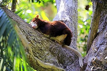 Matschie's Tree Kangaroo, (Dendrolagus matschiei), adult on tree resting, New Guinea
