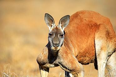 Red Kangaroo, (Macropus rufus), adult male portrait, Sturt Nationalpark, New South Wales, Australia