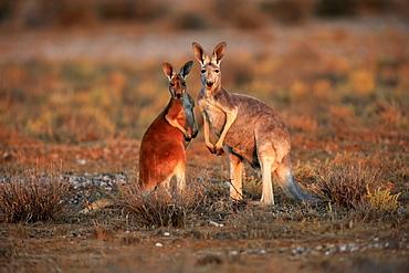 Red Kangaroo, (Macropus rufus), female with subadult, Sturt Nationalpark, New South Wales, Australia