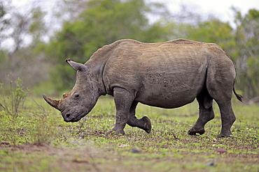White Rhinoceros, Square-Lipped Rhinoceros, (Ceratotherium simum), adult male walking searching for food, Hluhluwe Umfolozi Nationalpark, Hluhluwe iMfolozi Nationalpark, KwaZulu Natal, South Africa, Africa