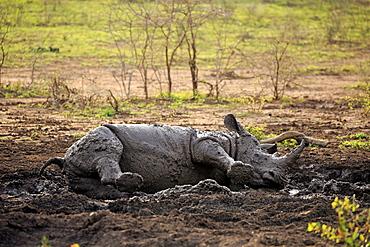 White Rhinoceros, Square-Lipped Rhinoceros, (Ceratotherium simum), adult in mud bath, Hluhluwe Umfolozi Nationalpark, Hluhluwe iMfolozi Nationalpark, KwaZulu Natal, South Africa, Africa