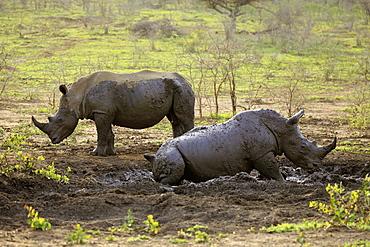 White Rhinoceros, Square-Lipped Rhinoceros, (Ceratotherium simum), two adults in mud bath, Hluhluwe Umfolozi Nationalpark, Hluhluwe iMfolozi Nationalpark, KwaZulu Natal, South Africa, Africa