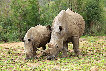 White Rhinoceros, Square-Lipped Rhinoceros, (Ceratotherium simum), adults female with young feeding, searching for food, Hluhluwe Umfolozi Nationalpark, Hluhluwe iMfolozi Nationalpark, KwaZulu Natal, South Africa, Africa