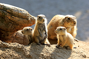 Black Tailed Prairie Dog, (Cynomys ludovicianus), adult with youngs at den, Northamerica
