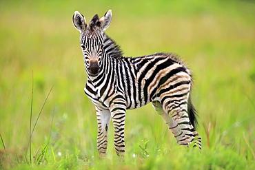 Plains Zebra, Burchell, (Equus quagga burchelli), young, Hluhluwe Umfolozi Nationalpark, Hluhluwe iMfolozi Nationalpark, KwaZulu Natal, South Africa, Africa