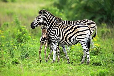 Plains Zebra, Burchell, (Equus quagga burchelli), adult with young, Hluhluwe Umfolozi Nationalpark, Hluhluwe iMfolozi Nationalpark, KwaZulu Natal, South Africa, Africa