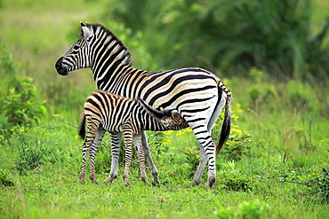 Plains Zebra, Burchell, (Equus quagga burchelli), adult with young suckling, Hluhluwe Umfolozi Nationalpark, Hluhluwe iMfolozi Nationalpark, KwaZulu Natal, South Africa, Africa