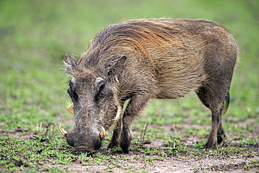 Warthog, (Phacochoerus aethiopicus), adult walking searching for food, Hluhluwe Umfolozi Nationalpark, Hluhluwe iMfolozi Nationalpark, KwaZulu Natal, South Africa, Africa