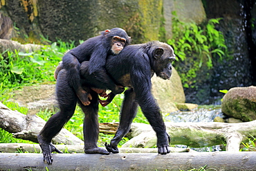 Chimpanzee, (Pan troglodytes troglodytes), adult with young on mothers back, Africa