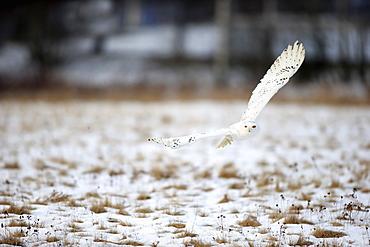 Snowy Owl, (Nyctea scandiaca), adult flying in winter, snow, Zdarske Vrchy, Bohemian-Moravian Highlands, Czech Republic