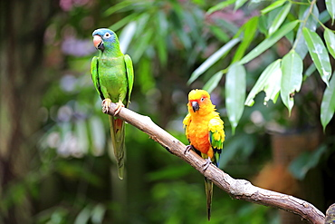 Blue-Crowned Parakeet, (Thectocercus acuticaudatus), Sun Conure, (Aratinga solstitialis), adult on branch, South America