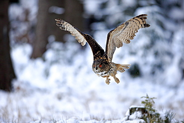 Eagle Owl, (Bubo bubo), adult flying in winter, in snow, Zdarske Vrchy, Bohemian-Moravian Highlands, Czech Republic