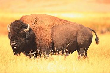 American bison in grassland