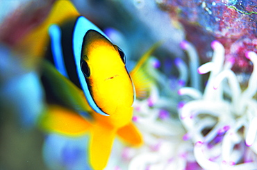 Orange Fin Anemone Fish