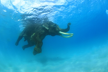 Elephant swimming in the sea