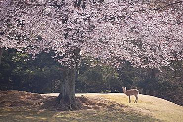 Deer, Japan