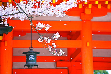 Cherry Blossom At Heian Shrine, Kyoto, Japan