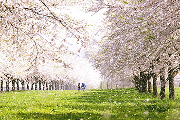 Cherry Blossom Tree Lined Road