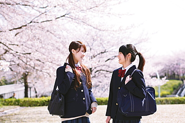 Japanese schoolgirls in their uniforms with cherry blossoms in the background