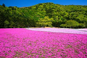 Fujishibazakura, Motosuko, Yamanashi, Japan