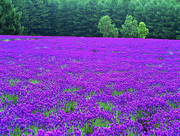 Saikanosato, Hokkaido, Japan