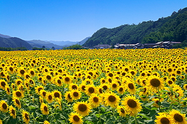 Sunflower Field, Hyogo, Japan