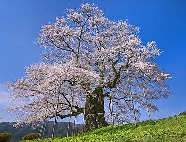 Daigo Cherry Blossoms, Okayama, Japan