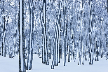 Japanese beech Forest, Aomori, Japan