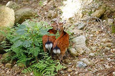 Yakushima Deer, Yakushima, Kagoshima Prefecture