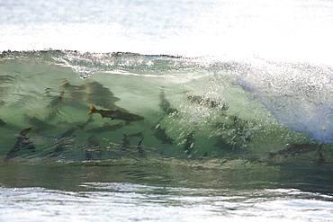 Salmon Jumping in the Waves, Hokkaido, Japan