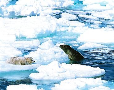 Spotted Seal, Hokkaido, Japan