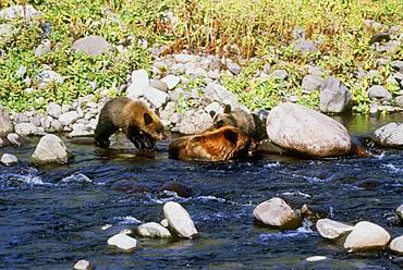 Rushagawa Brown Bear, Hokkaido, Japan