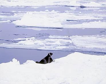 Ribbon Seal, Hokkaido, Japan