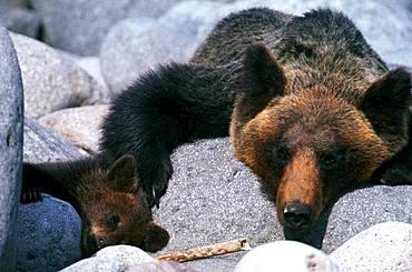 Mother and Child Brown Bear, Hokkaido, Japan
