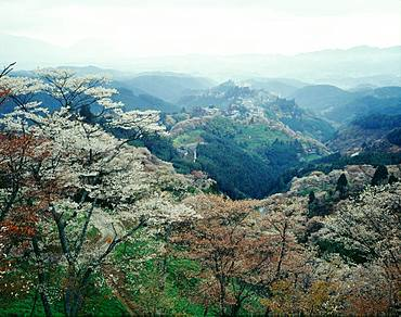 Cherry Blossoms, Mt.Yoshino, Nara, Japan