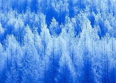 Larch, Wood, Hokkaido