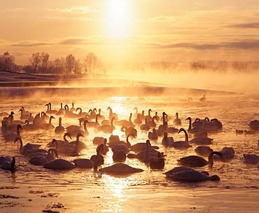Swan, Cold Mist, Hokkaido
