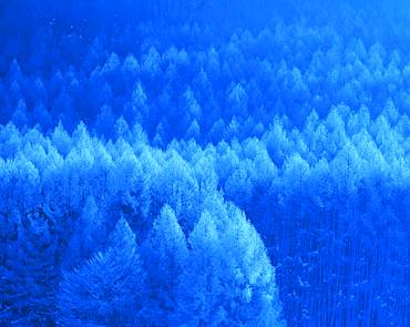 Larch, Silver Frost, Nagano Prefecture