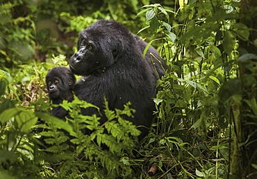 Mountain gorilla and juvenile, Volcanoes National Park, Rwanda, Volcanoes National Park, Rwanda