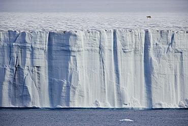 A polar bear,Ursus maritimus, striding across the ice, Svalbard, Norway