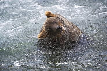 A brown bear shakes off excess water after fishing in Katmai National Park, Alaska, USAKatmai National Park, Alaska, USA